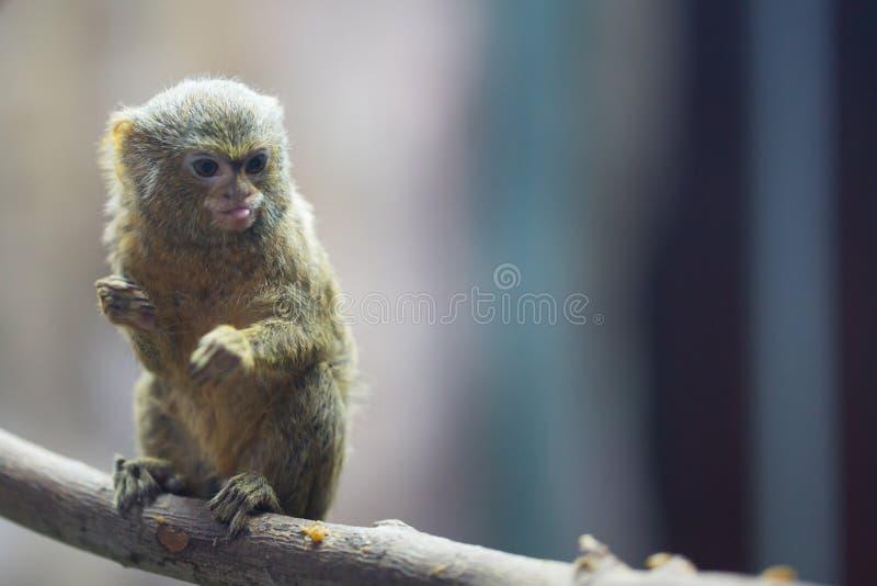 Mono tití enano fotos de archivo