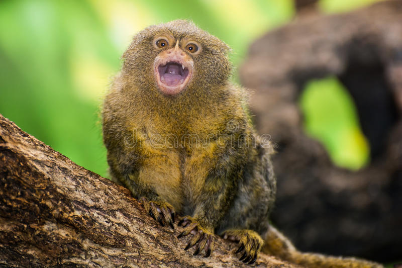 Mono tití enano fotografía de archivo