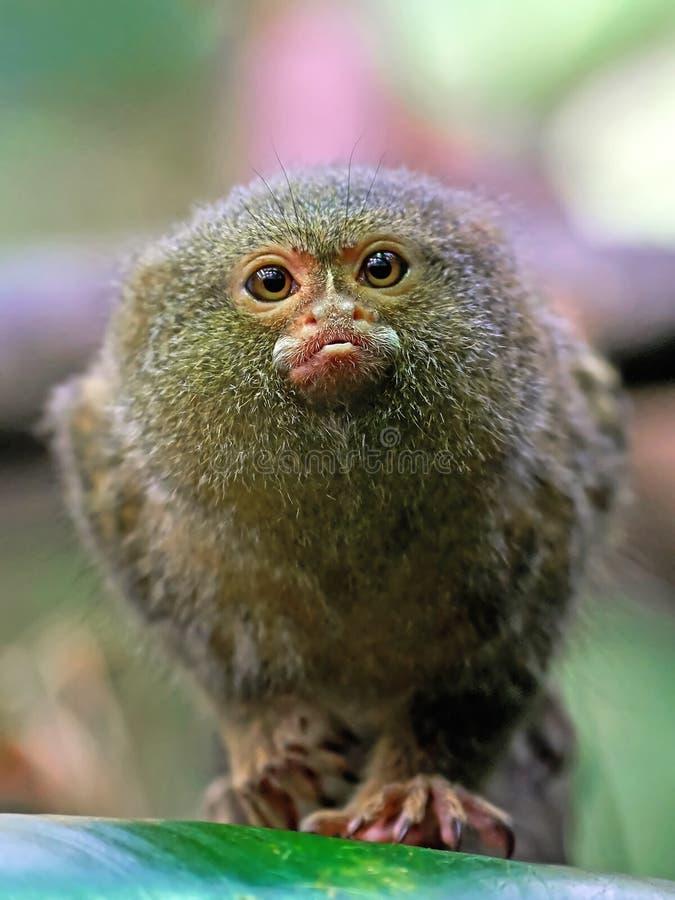 Mono tití enano (pygmaea del Cebuella) fotografía de archivo libre de regalías