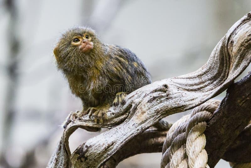 Mono tití enano (pygmaea del Cebuella) imagen de archivo libre de regalías