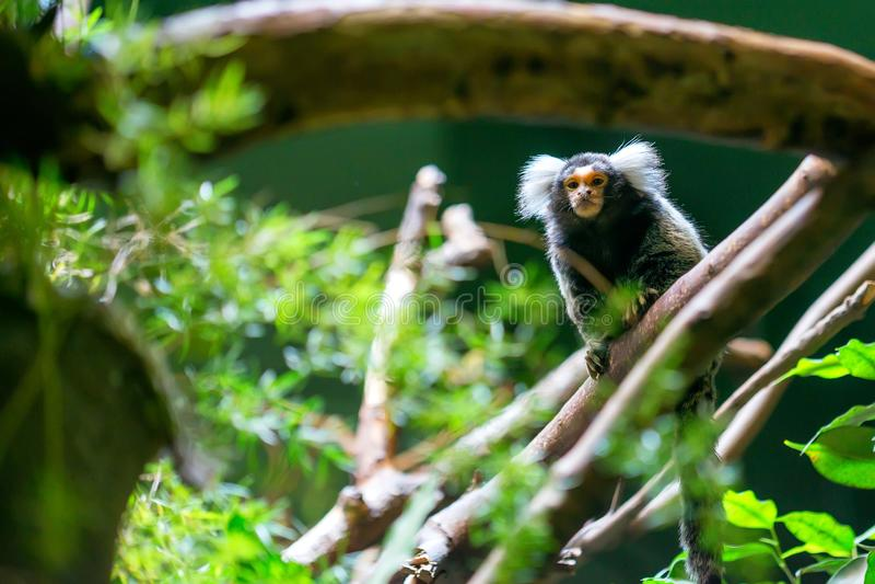 Mono tití o jacchus común del Callithrix fotos de archivo libres de regalías