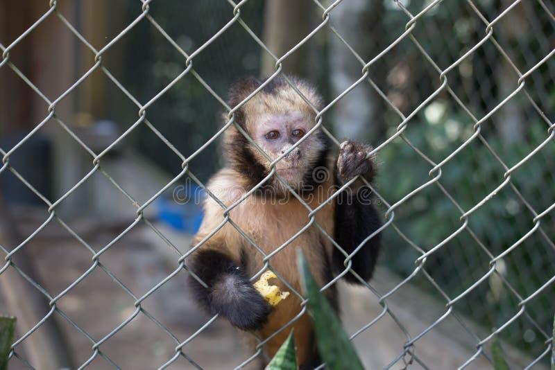 Mono triste con los ojos perdidos con un plátano en sus manos fotos de archivo libres de regalías