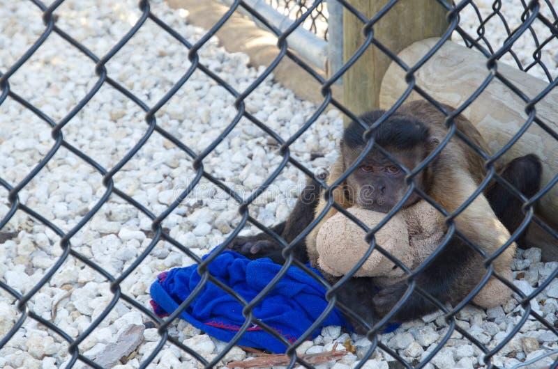 Mono triste en una jaula que abraza un juguete fotos de archivo libres de regalías