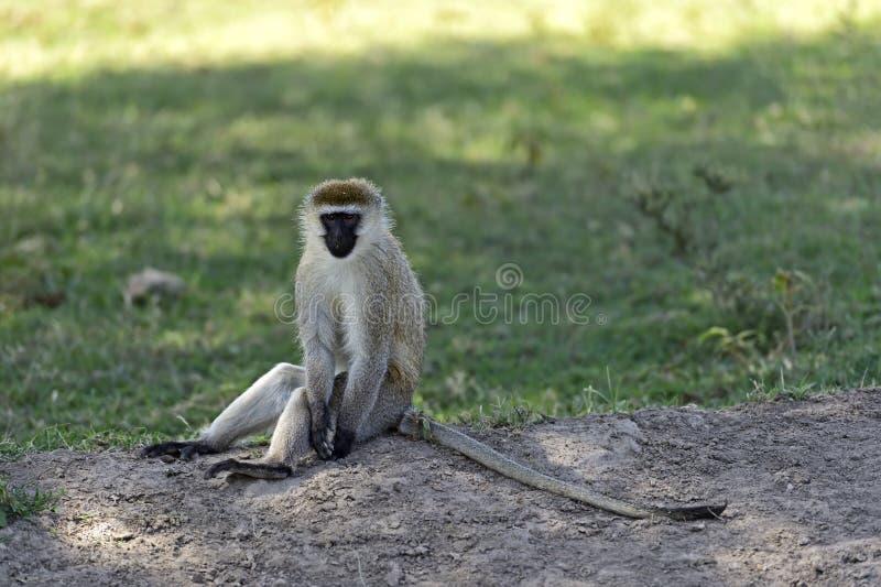 Download Mono verde foto de archivo. Imagen de parque, peligroso - 44851670