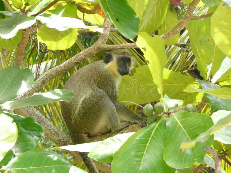 Mono verde en la reserva de la fauna de Barbados imagen de archivo
