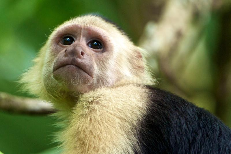Mono White-faced del capuchón fotografía de archivo libre de regalías