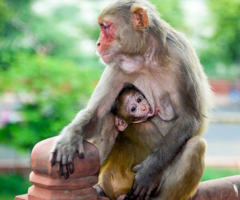 Mono y bebé de la madre en Agra, la India imagen de archivo