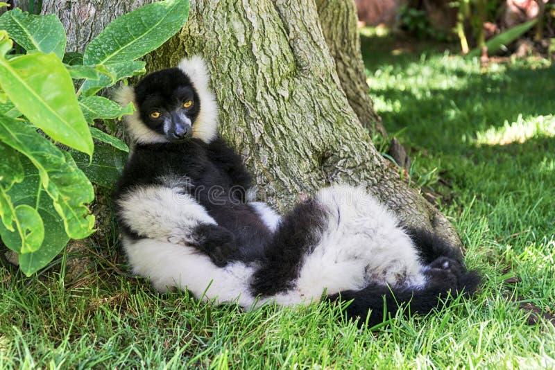 Mono zwart-witte maki royalty-vrije stock foto