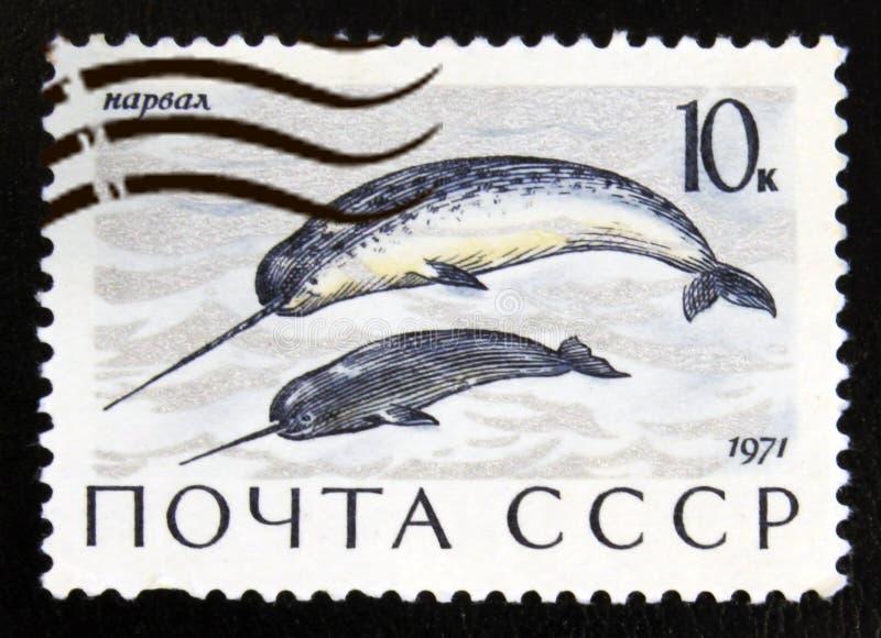Monoceros Monodon Narwhal, θαλάσσια θηλαστικά serie, circa 1971 στοκ εικόνα