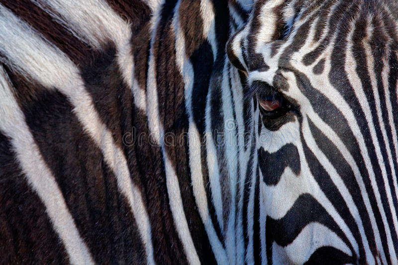 Monochromatic image of a the face of a Grevy's zebra, big eye in the black and white strips, detail animal portrait, Kenya royalty free stock images