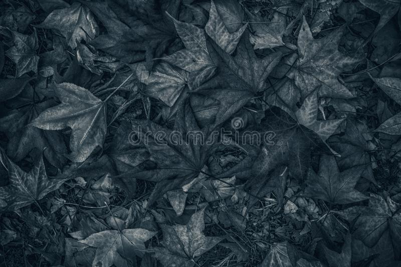 Monochromatic image of japanese maple autumnal dry leaves on ground stock photo