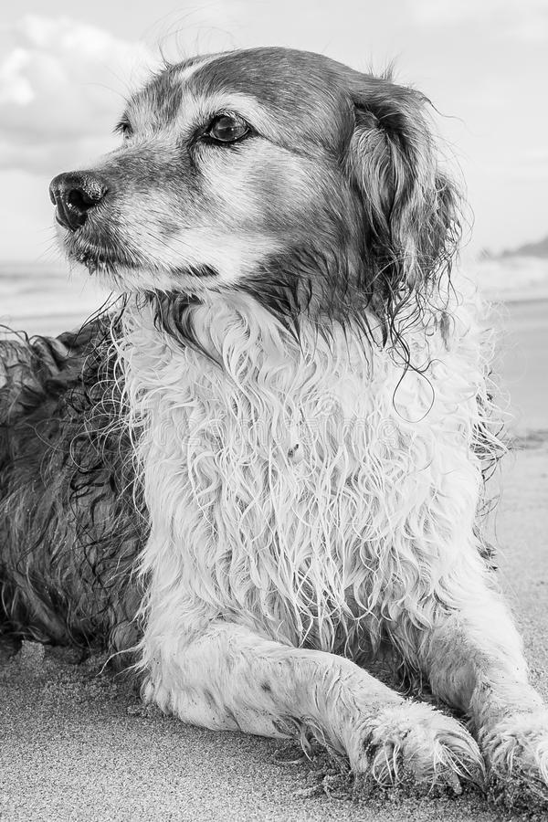 Monochromatic image of red and white curly haired collie type dog at a beach royalty free stock photos