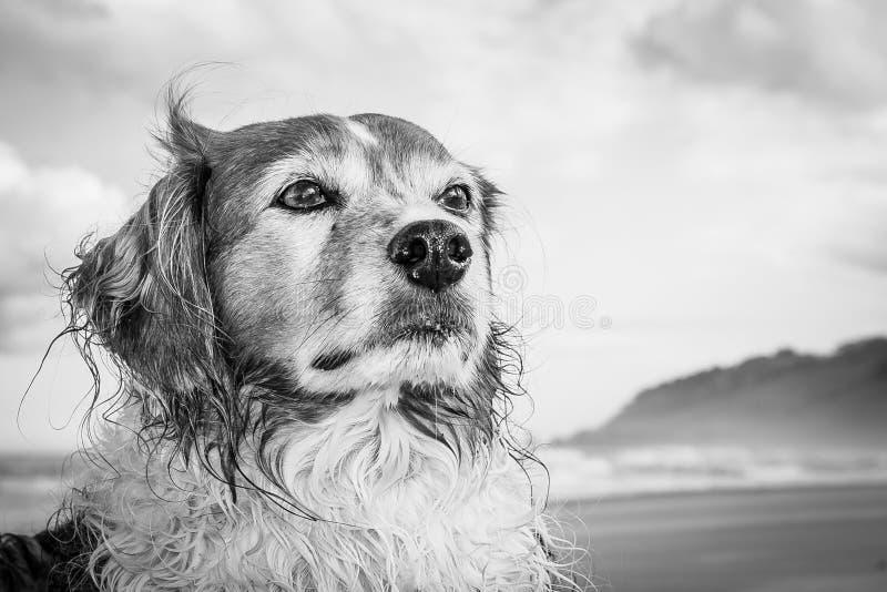 Monochromatisch die portrethoofd van rode en witte krullende haired collietype hond bij een strand wordt geschoten royalty-vrije stock afbeelding