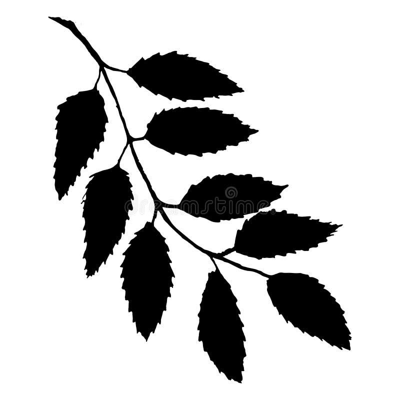 Monochromatycznej czarnej rowan rowanberry liścia gałąź wiązki ashberry jagodowej sylwetki botaniczna ilustracja odizolowywał wek royalty ilustracja