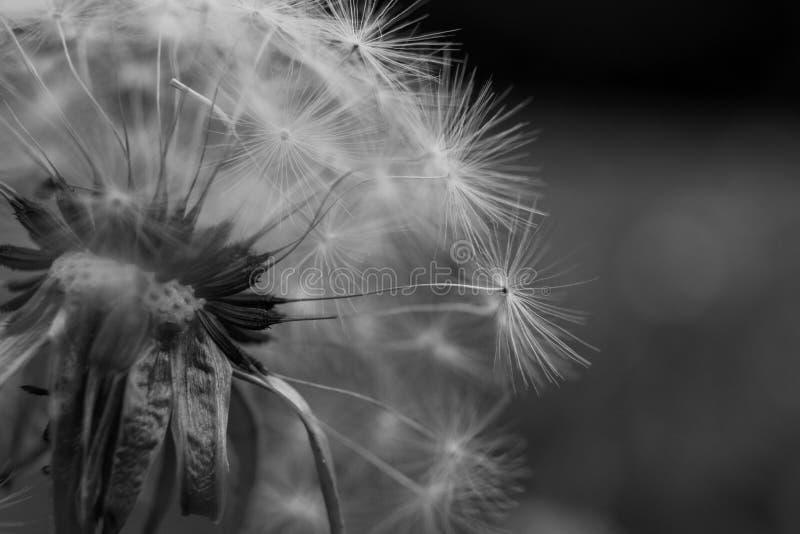 Monochromatyczny Dandelion zdjęcia stock