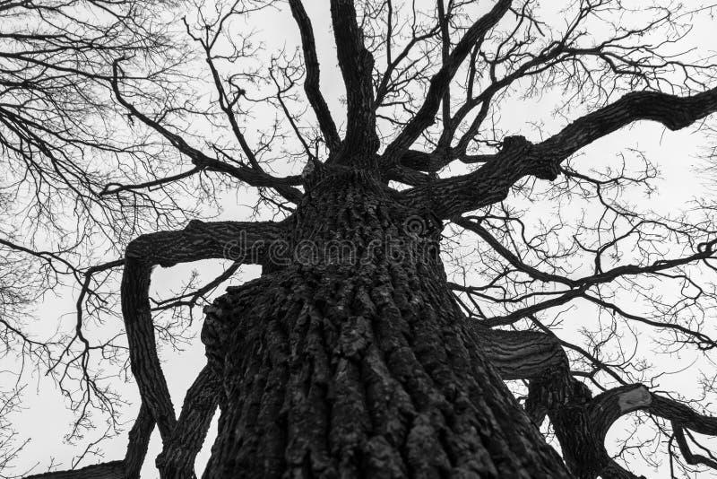 Monochromatyczny melancholijny wizerunek wysoki gałęzisty ponury dębowy drzewo w zimie zdjęcia royalty free