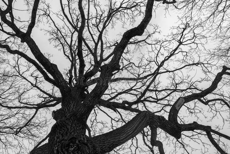 Monochromatyczny melancholijny wizerunek wysoki gałęzisty ponury dębowy drzewo w zimie obrazy royalty free