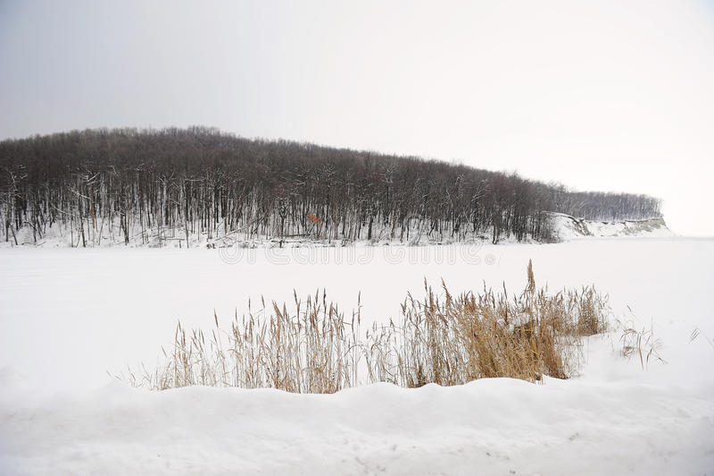 Monochrome ландшафта зимы Тростники на покрытых снег заливе и лесе на заднем плане стоковое фото