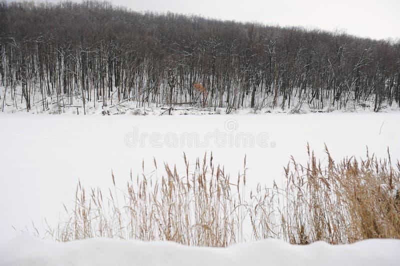 Monochrome ландшафта зимы Тростники на покрытых снег заливе и лесе на заднем плане стоковые фото