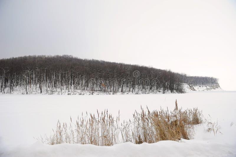 Monochrome ландшафта зимы Тростники на покрытых снег заливе и лесе на заднем плане стоковое изображение