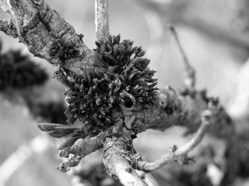 Monochrome конец вверх мха растя на небольшой ветви с отпочковываясь листьями стоковое фото rf