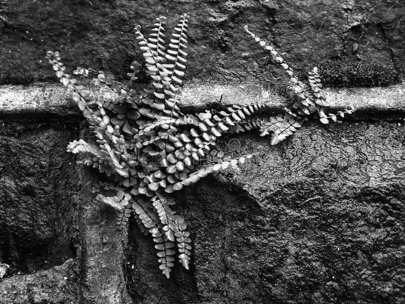 Monochrome конец вверх небольшого папоротника растя в цементе влажной каменной стены стоковая фотография