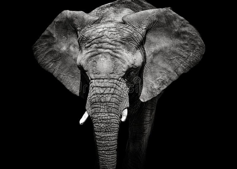 Monochrome слон портрета стоковые фото