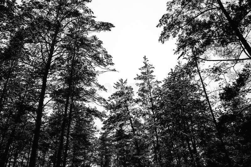 Monochrome фото соснового леса в зиме стоковое изображение