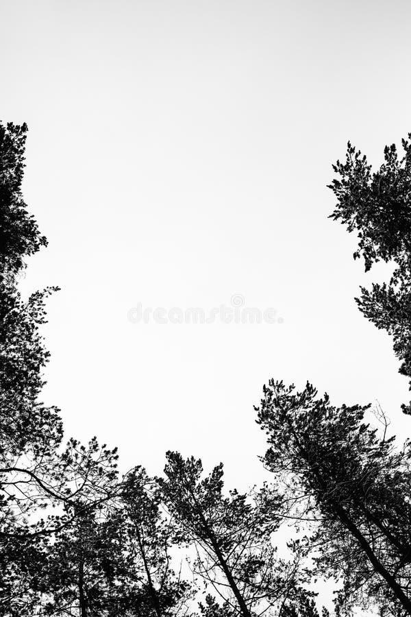 Monochrome фото соснового леса в зиме стоковые фото