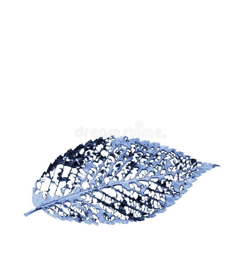Monochrome azul estrutura deteriorada da veia da folha do olmo imagem de stock royalty free