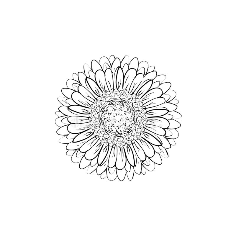 Monochrome, black and white gerbera flower isolated. Hand-drawn contour lines and strokes. Vector flower gerbera. Element for vector illustration