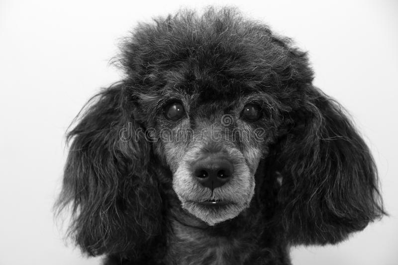 Portrait of Black Toy Poodle royalty free stock photography