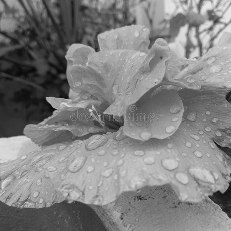 Monochrome / black and white photography of Rain / water drops in the petals of flower blooming in the garden, flower photography. Flora, rainy, season stock images