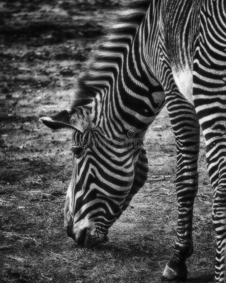 A monochrome close-up image of a grazing zebra. Black and White royalty free stock photos