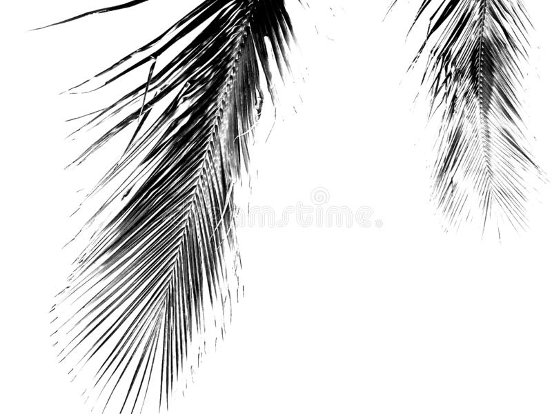 Monochrome coconut palm fronds isolated on white background royalty free stock photos