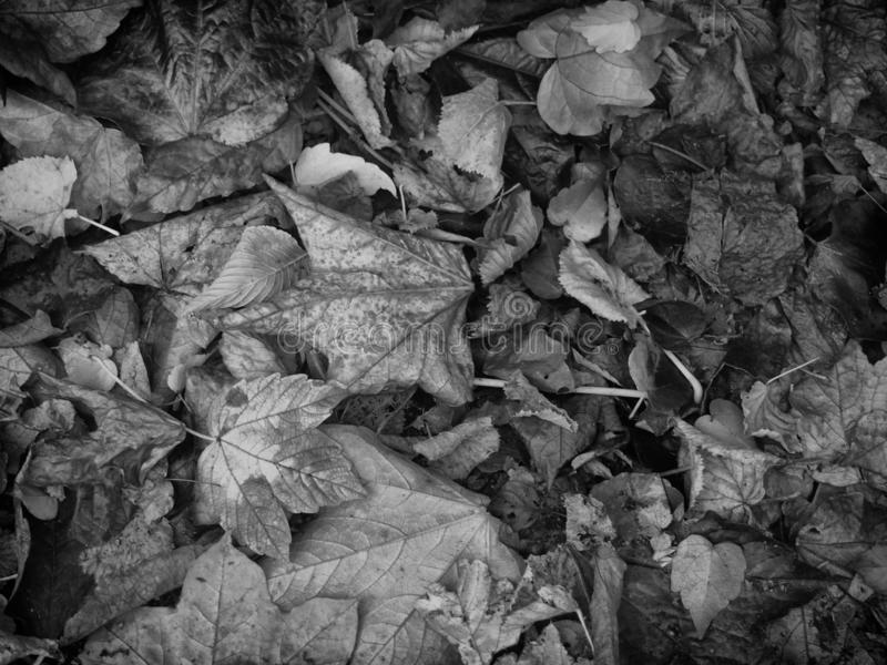 Monochrome dark background image of mixed dried fallen autumn leaves royalty free stock photos