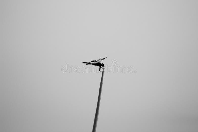 Monochrome Dragonfly стоковые изображения rf