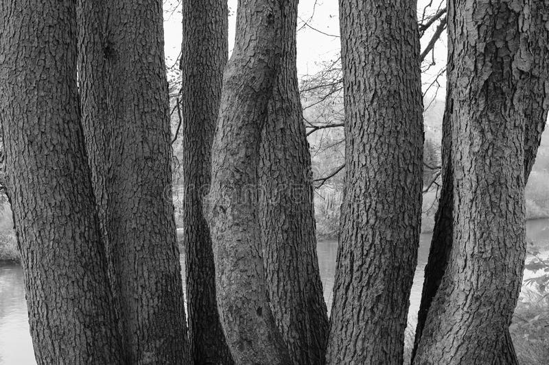 Monochrome group of tree trunks. Group of tree trunks in black and white stock photos