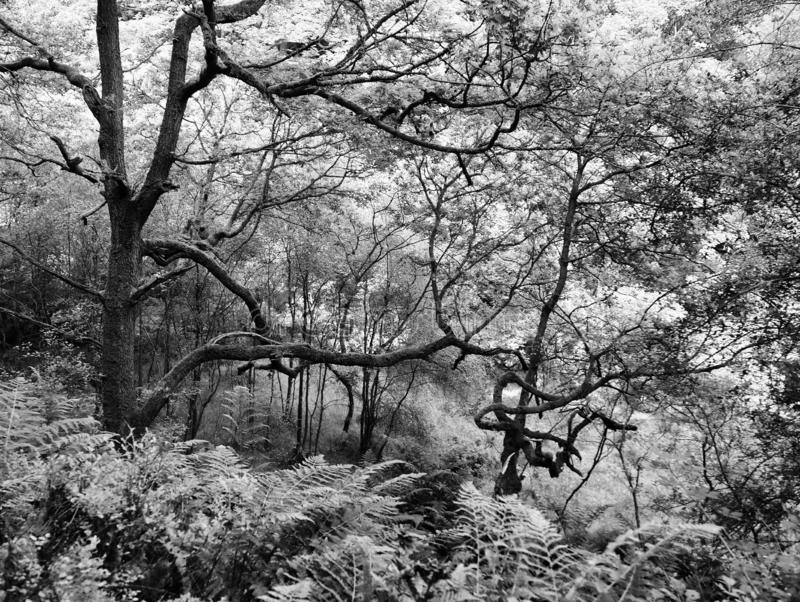 Monochrome image of twisted old forest trees with tangled branches on a hillside overgrown with ferns. A monochrome image of twisted old forest trees with stock photos