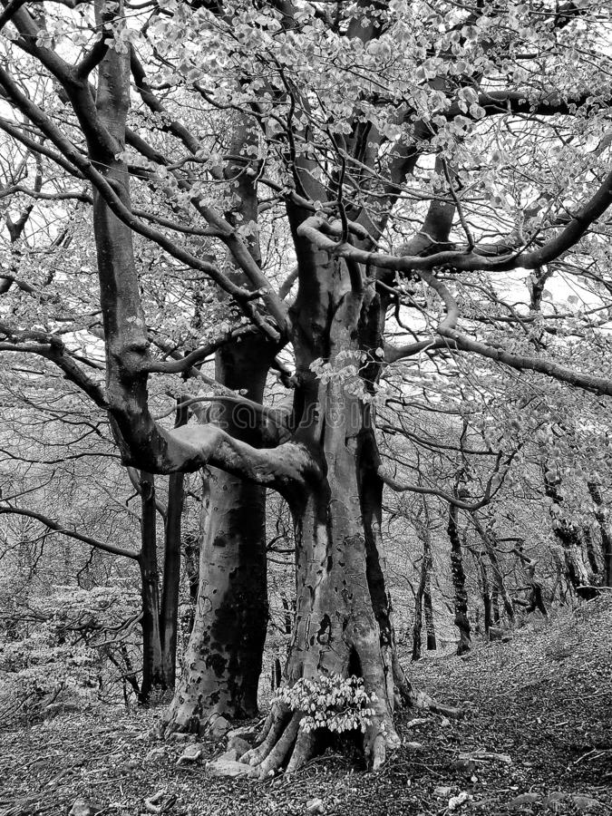 Monochrome image of two stately tall ancient beech trees growing in hillside woodland with large twisted branches. A monochrome image of two stately tall ancient stock photography