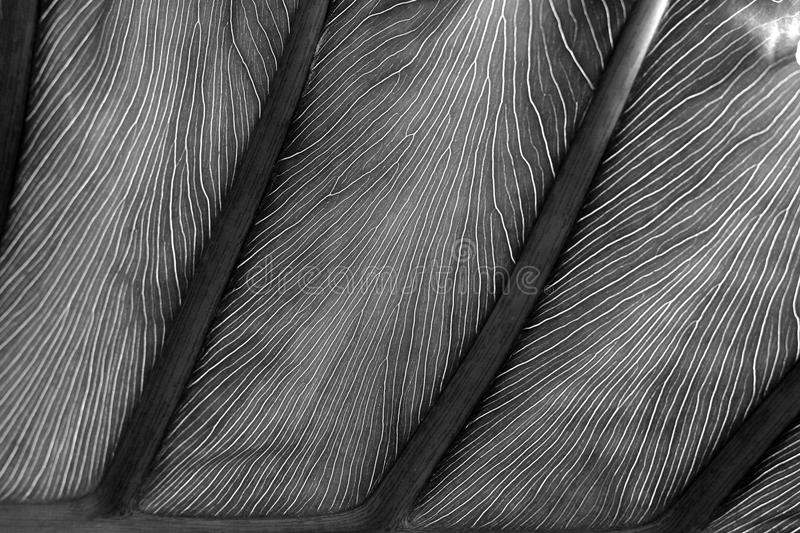 Monochrome leaf detail. Showing pattern for use as a background royalty free stock photography