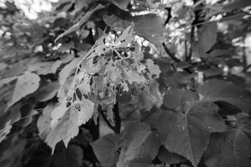 Monochrome leaves in the forest eaten by caterpillars stock photography