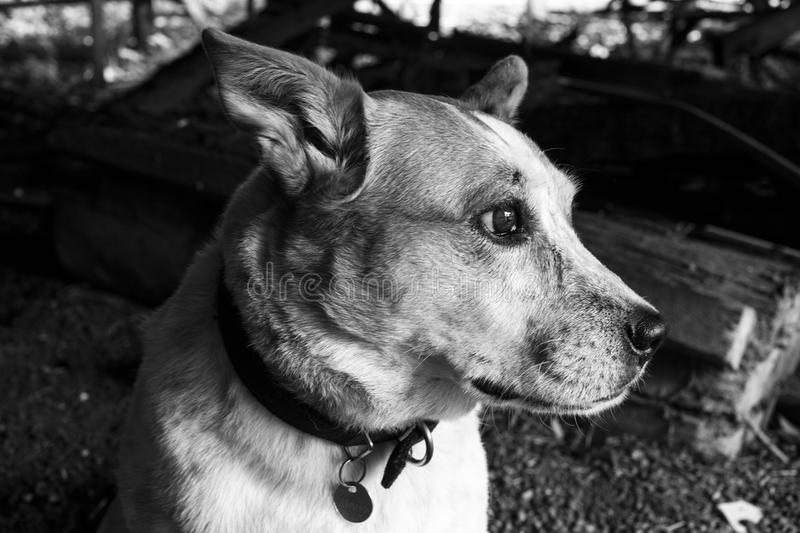 Monochrome Photography of a Dog royalty free stock photos