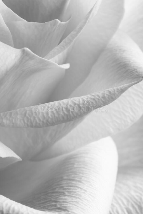 Monochrome rose stock images