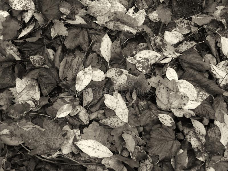 Monochrome sepia tinted full frame background of wet fallen dead leaves on the ground in late autumn. A monochrome sepia tinted full frame background of wet stock image