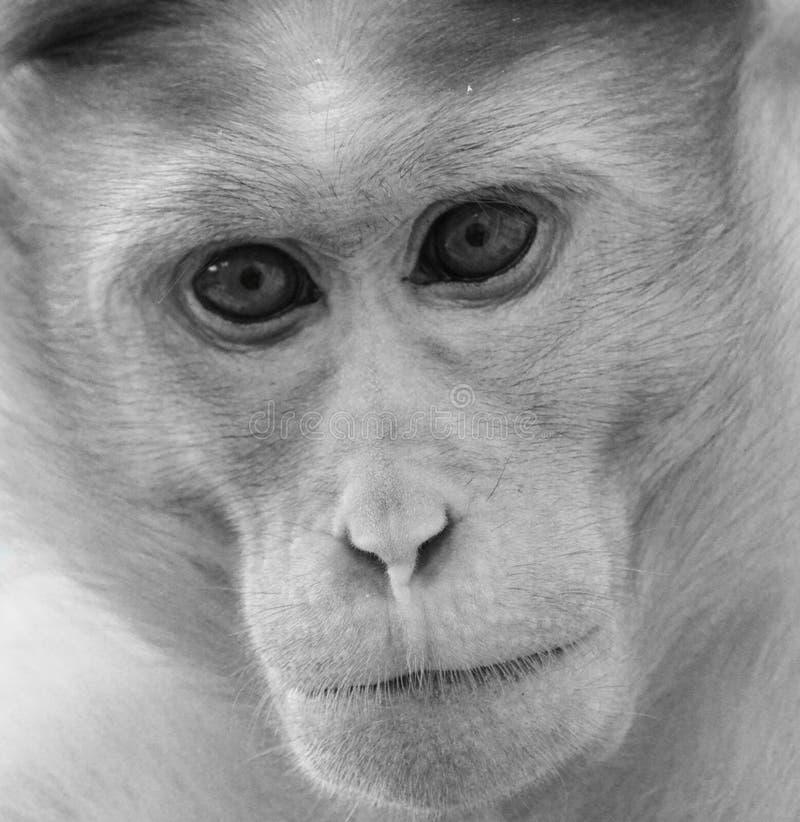 Monochrome side portrait of bonnet macaque monkey stock images
