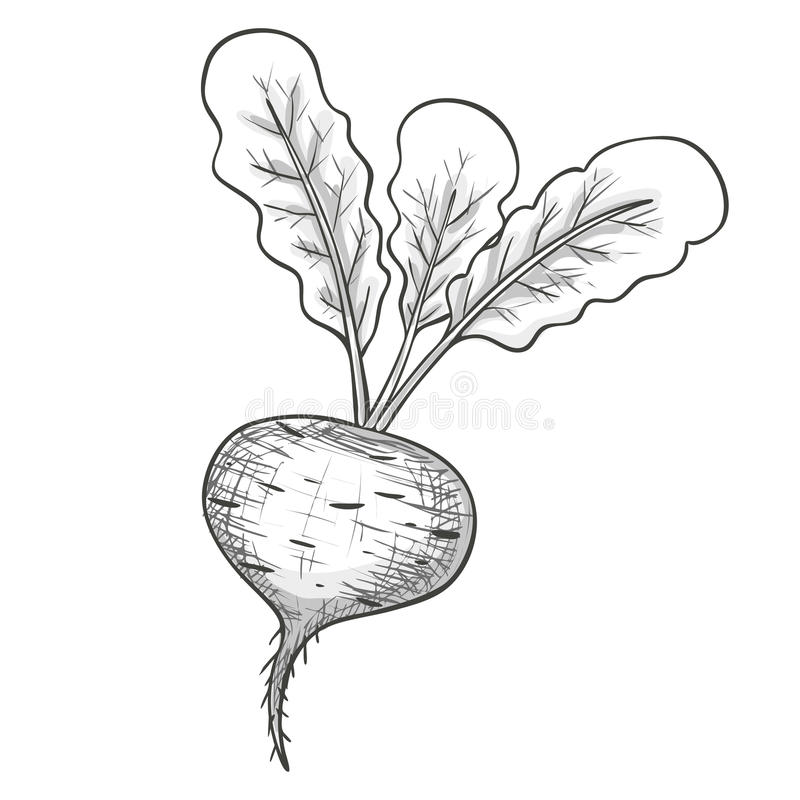 Beet Line Drawing