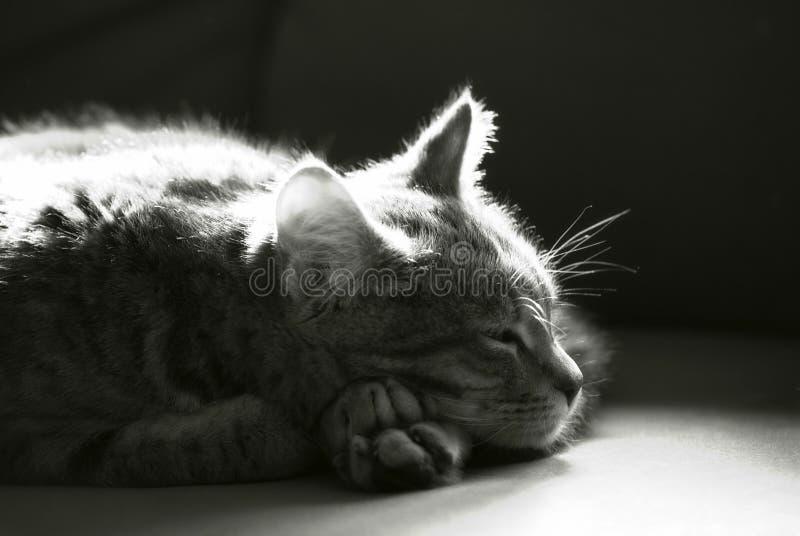 Monochrome sleepy kitten royalty free stock image
