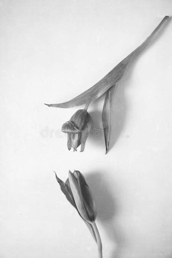 Monochrome two tulips royalty free stock image