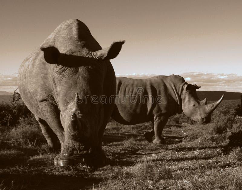 Monochrome of two white rhino. Close up of two white rhino in this unique monochrome photo of these prehistoric mammals stock photo